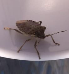 Brown marmorated stink bug - Wikipedia