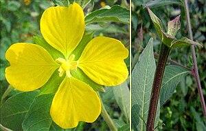 Ludwigia (plant) - Image: Ludwigia Flower Fruit 080310lw