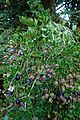 Luma apiculata kz7.jpg