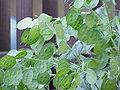Lunaria annua1.jpg