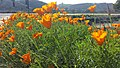 Lusk & Vista Sorrento Parkway Golden Poppies 3.jpg