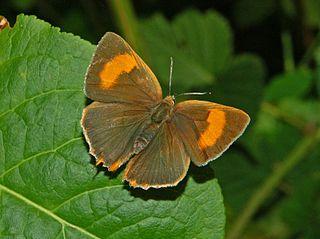 Brown hairstreak species of insect