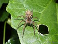 Lycosa spider & spiderlings (Wolf spider) (22041933671).jpg