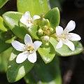 Lysimachia mauritiana (flower).jpg
