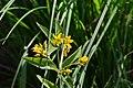 Lysimachia vulgaris (8352534473).jpg