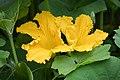 Männliche Kürbisblüten - Flickr - blumenbiene (1).jpg