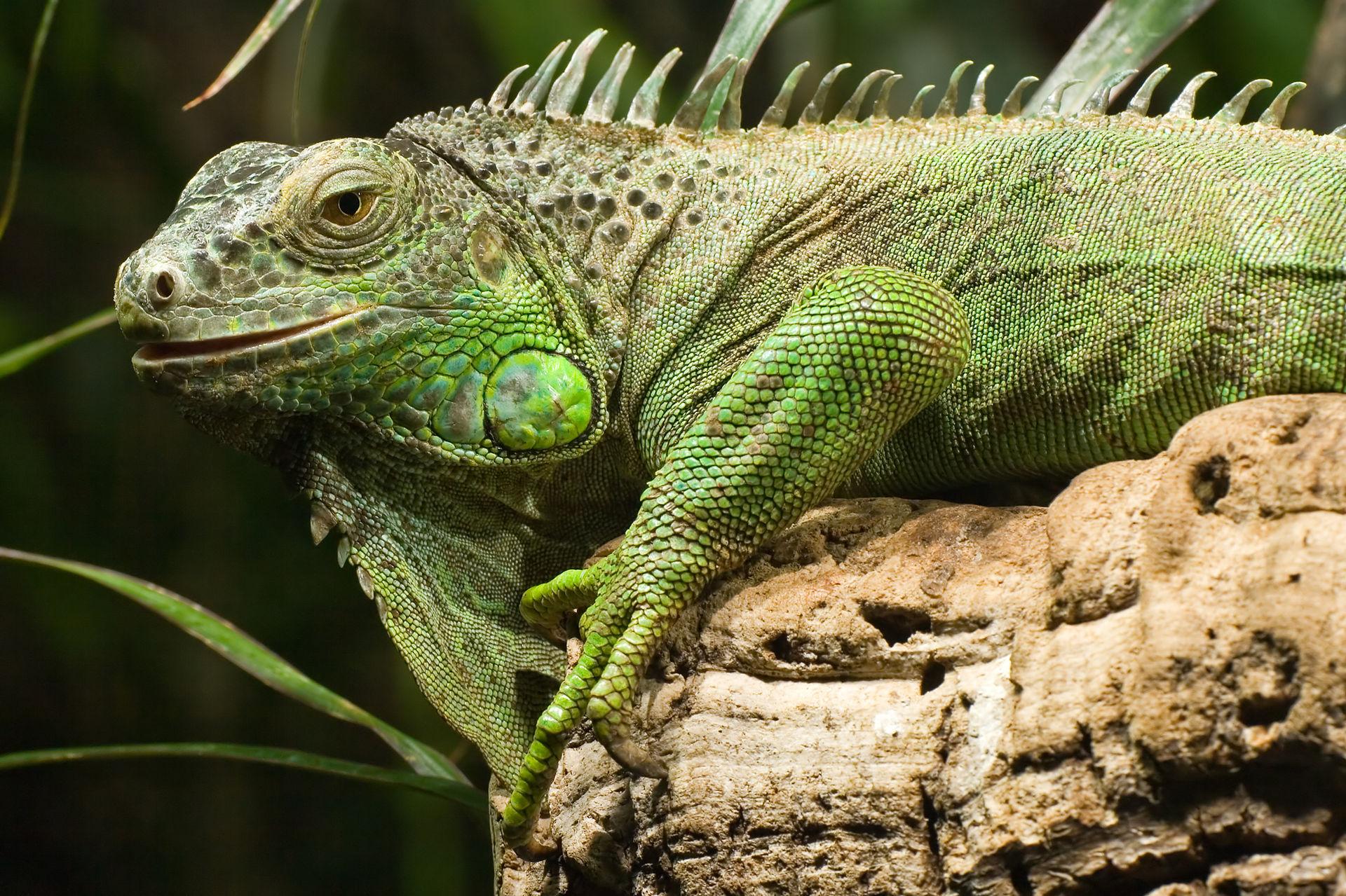 Grüner Leguan (Iguana iguana)