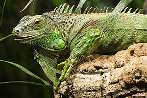 "Green iguana, picture taken in the ""Haus ..."