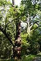 MOs810, WG 2014 39, Milicz Ponds quercus robur, nat. monum. near Olszyny Niezgodzkie (2).JPG