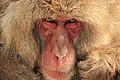 Macaca Fuscata, also known as Japanese Snow Monkeys, in Jigokudani, Yudanaka, Japan 02.jpg