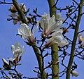 Magnolia c 02.jpg