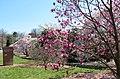 Magnolias at National Arboretum (25695951480).jpg