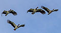 Magpie Geese in flight - Fogg Dam - Northern Territory - Australia.jpg