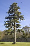 Majestic fir tree - geograph.org.uk - 798428.jpg
