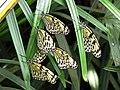 Malaysia - Penang Butterfly Gardens - 21 (5208964902).jpg