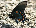 Male Pipevine Swallowtail Megan McCarty06.jpg