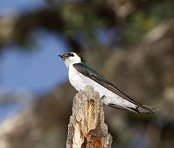 Male Violet green Swallow (Tachycineta thalassina).jpg