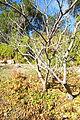 Mallotus japonicus - Quarryhill Botanical Garden - DSC03627.JPG