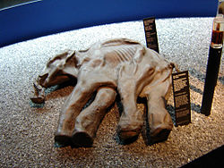 The preserved baby woolly  mammoth named Dima (Lucerne, Switzerland).