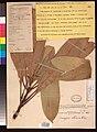 Mangifera altissima, INT, US432690 (8045791569).jpg