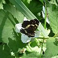 Map Butterfly - Flickr - gailhampshire.jpg