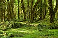 Maple Glade Trail, Olympic National Park.jpg