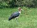 Marabou Stork. Leptotilos crumeniferus - Flickr - gailhampshire.jpg