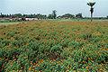 Marigold Field 20020400 11.jpg