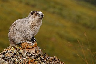Hoary marmot Species of rodent