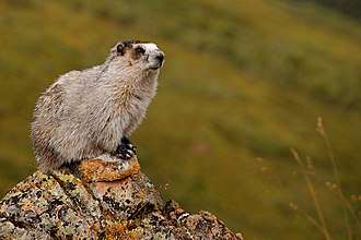 Hoary marmot - Image: Marmota caligata (EH)
