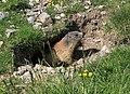 Marmotta dell'Avaro - panoramio.jpg