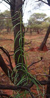 <i>Marsdenia australis</i> Species of plant