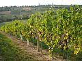 Međimurske gorice (Železna gora) - crno grožđe.JPG