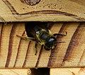 Megachile willughbiella ? Leafcutter Bee (35082705274).jpg