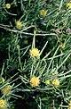 Melaleuca glomerata flowers.jpg