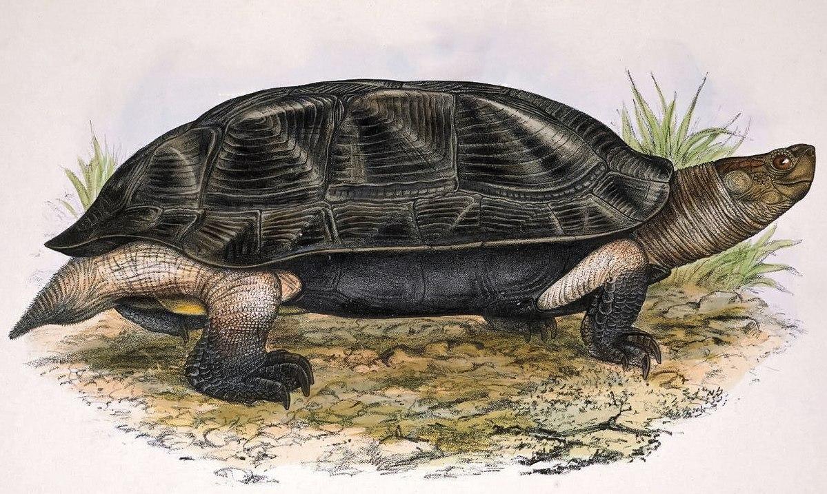 Indian Black Turtle Wikipedia