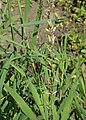 Melica altissima kz03.jpg