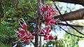 Melicope rubra flowers.jpg