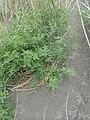 Melilotus indicus plant (09).jpg