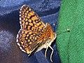 Melitaea cinxia - Glanville fritillary - Шашечница обыкновенная (26280421787).jpg