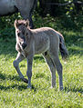 Merfeld, Wildpferdefang -- 2014 -- 0346.jpg