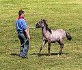 Merfeld, Wildpferdefang -- 2014 -- 0914.jpg