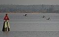 Mergansers in flight (6755311449).jpg
