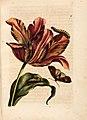 Merian - Der Raupen wunderbare Verwandelung und sonderbare Blumennahrung - Abb 2.jpg