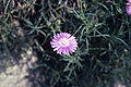 Mesembrianthemum cordifolia WPC.jpg