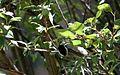 Mexican chickadee - Flickr - GregTheBusker (2).jpg