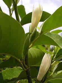 Magnolia × alba - Wikipedia