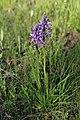 Military orchid - Orchis militaris - panoramio (10).jpg