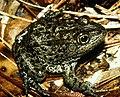 Mississippi gopher frog.jpg