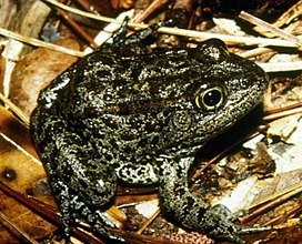 Mississippi gopher frog.jpg